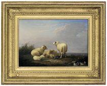 Sheep resting beside some ducks