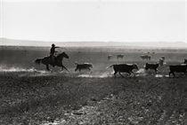 Texas Cowboy herding cattle, 1949