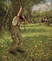Shaking down cider apples