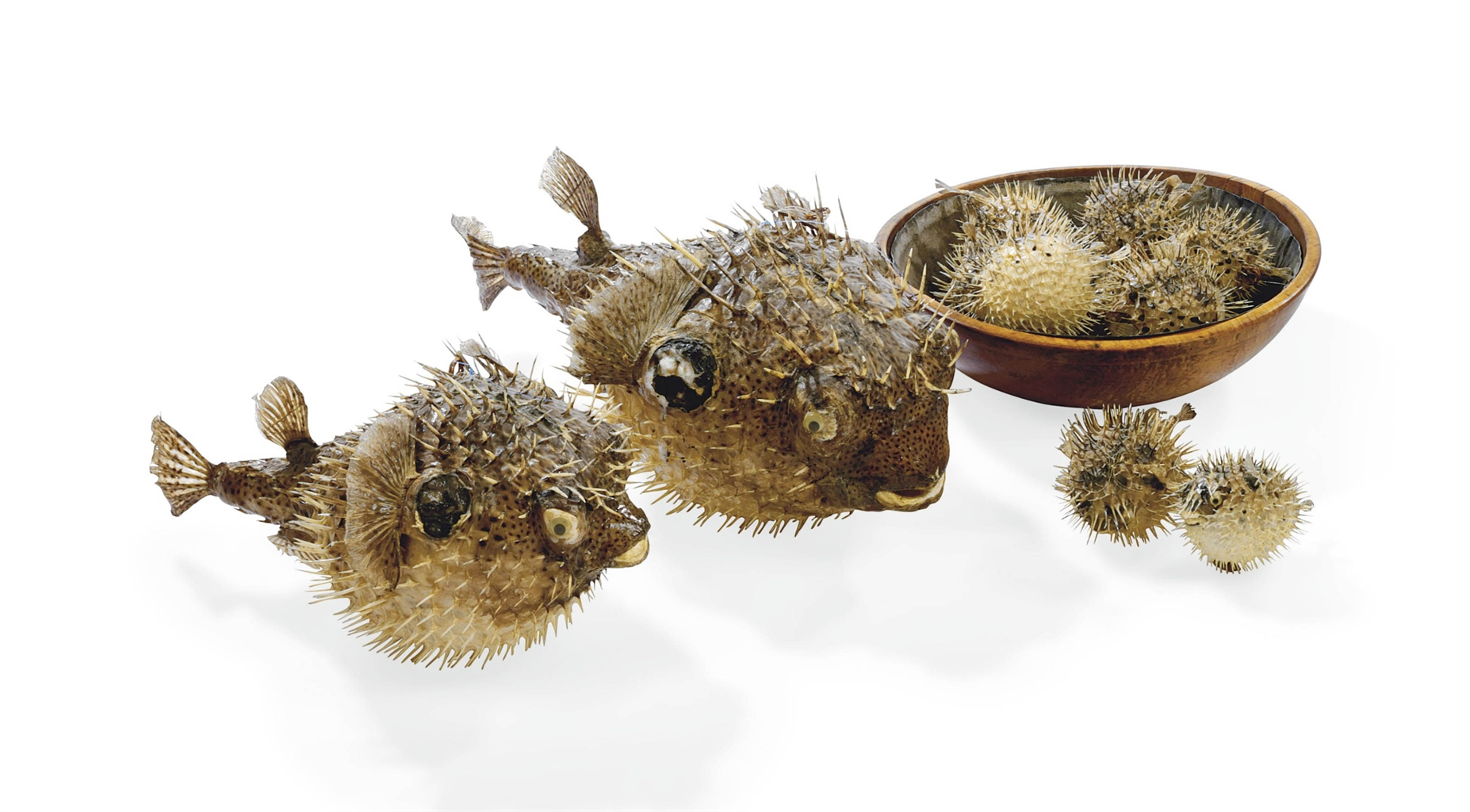 A group of eleven taxidermy puffer fish probably 20th for Puffer fish stuffed animal