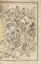 DUHAMEL DU MONCEAU, Henri Louis (1700-1782). Traité des arbres et arbustes qui se cultivent en France en pleine terre. Paris: H. L. Guerin & L. F. Delatour, 1755.