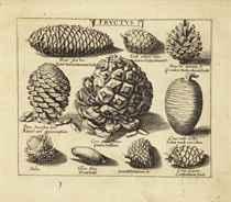 BESLER, Basile (1561-1629) Continuatio Rariorum et Aspectu D