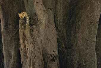 Leopard in Ancient Baobab Tree, c. 2004