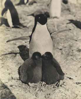 Adélie Penguin and Chicks, Antarctica, c. 1911