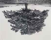 Oak, Kaggevinne (from the series Flanders Trees)