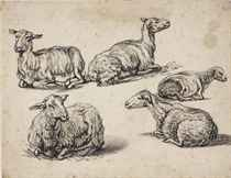 Five studies of recumbent sheep