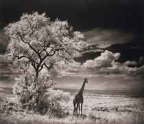 Giraffe looking over plains, Serengeti, 2002