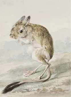 A pale kangaroo mouse (Microdipodops pallidus)