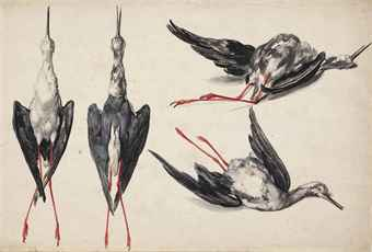 Four studies of a black-winged stilt (Himantopus himantopus)