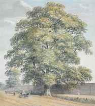 Study of an oak tree on the Datchet Lane, Windsor