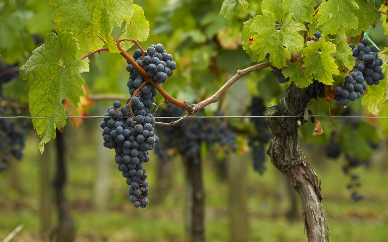 Cabernet Sauvignon grapes growing in Saint Emilion