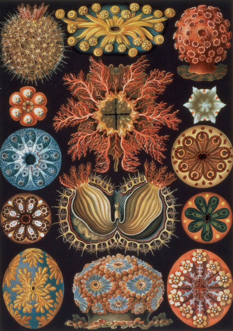 Ernst Haeckel, Ascidiae, plate 85 from Kunstformen der Natur, 1899-1904. Courtesy Calmann & King, London, UK  Bridgeman Images