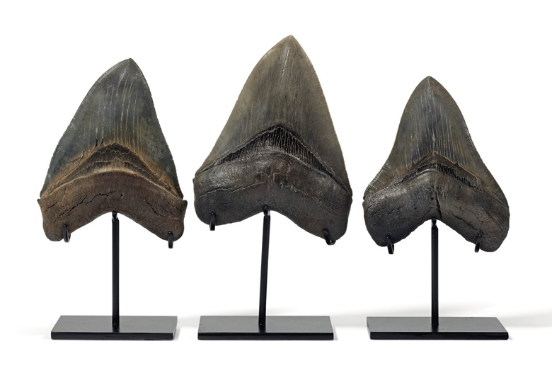 A group of three megalodon teeth, South Carolina. 8 in (20 cm) high the tallest stand. Estimate £5,000-8,000. Offered in Sculpted by Nature Fossils, Minerals and Meteorites, 4-21 May 2020, Online