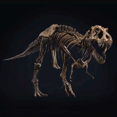 A male Tyrannosaurs rex  from the Hell Creek Formation, 16 metres below the K-T boundary. Maastrichtian, Late Cretaceous (circa 67 million years ago). 37 x 13 x 6 ft (1128 x 396 x 183 cm). Sold for $31,847,500 in the 20th Century Evening Sale on 6 October at Christie's in New York