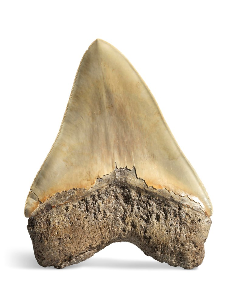 A large megalodon tooth, South Carolina, USA. 5½ in (13 cm). Estimate                    £2,000-3,000. This lot is offered in Sculpted by Nature Fossils, Minerals and Meteorites, 10-17 April 2018, Online